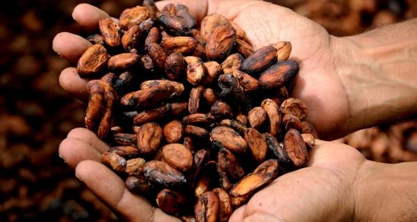 Kakaobohnen-in-Hand
